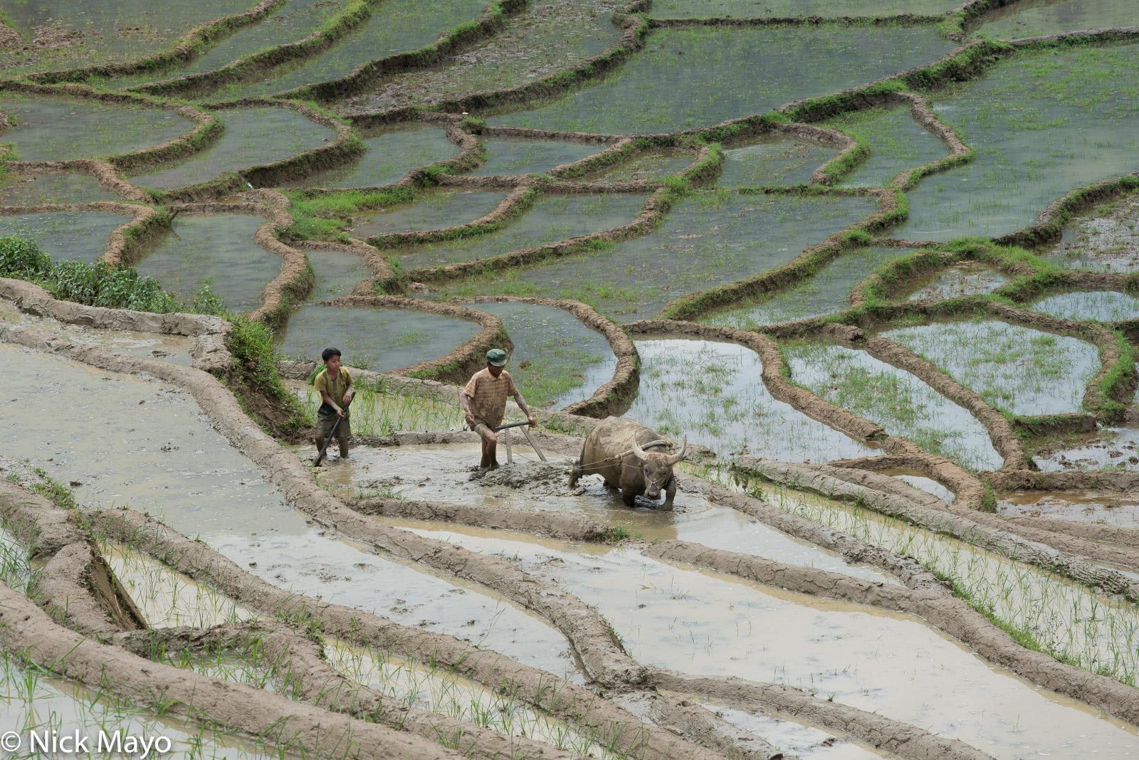 Hani, Lao Cai, Ploughing, Vietnam, Water Buffalo, photo