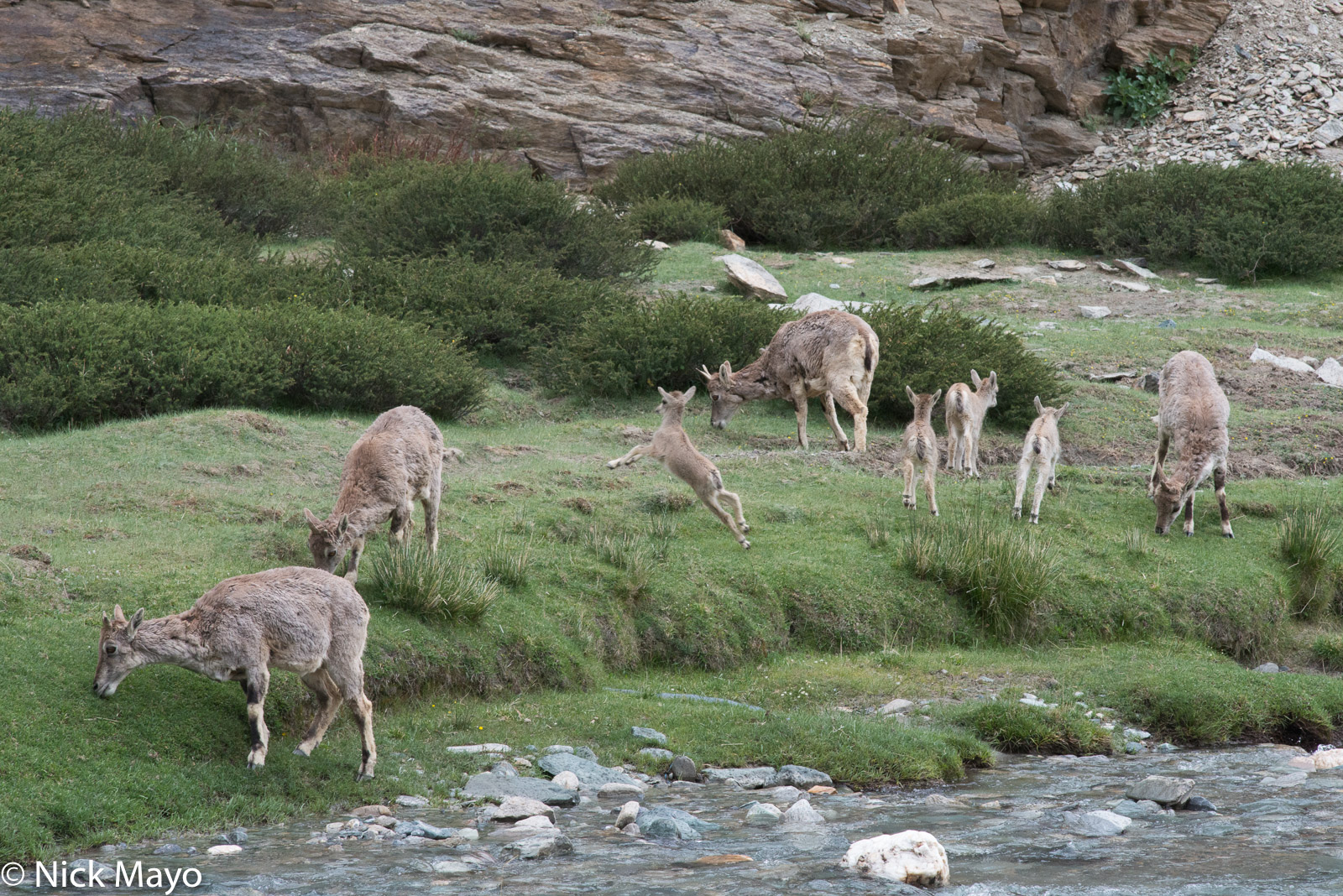 Deer, India, Jammu & Kashmir, photo