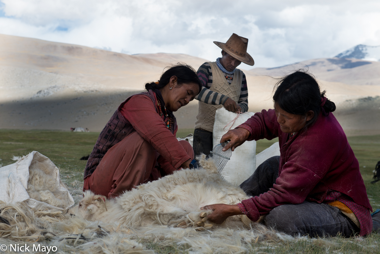 Changpa women at Lake Tso Moriri lake combing the fleece of a Pashmina goat for its cashmere wool.