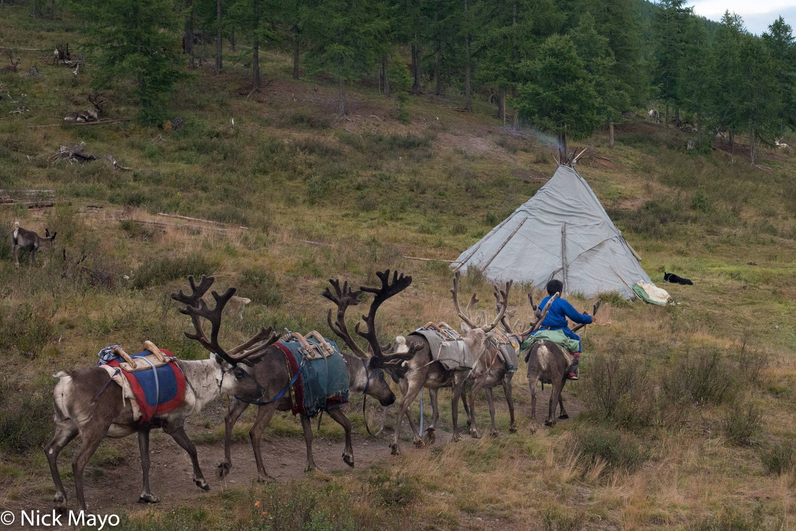 A young Dukha boy riding a reindeer and leading four others past a teepee in his autumn camp in Tsagaannuur sum.