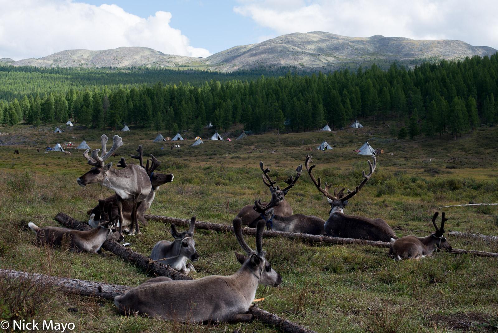 Reindeer tethered near the teepees of an autumn Dukha camp in Tsagaannuur sum.