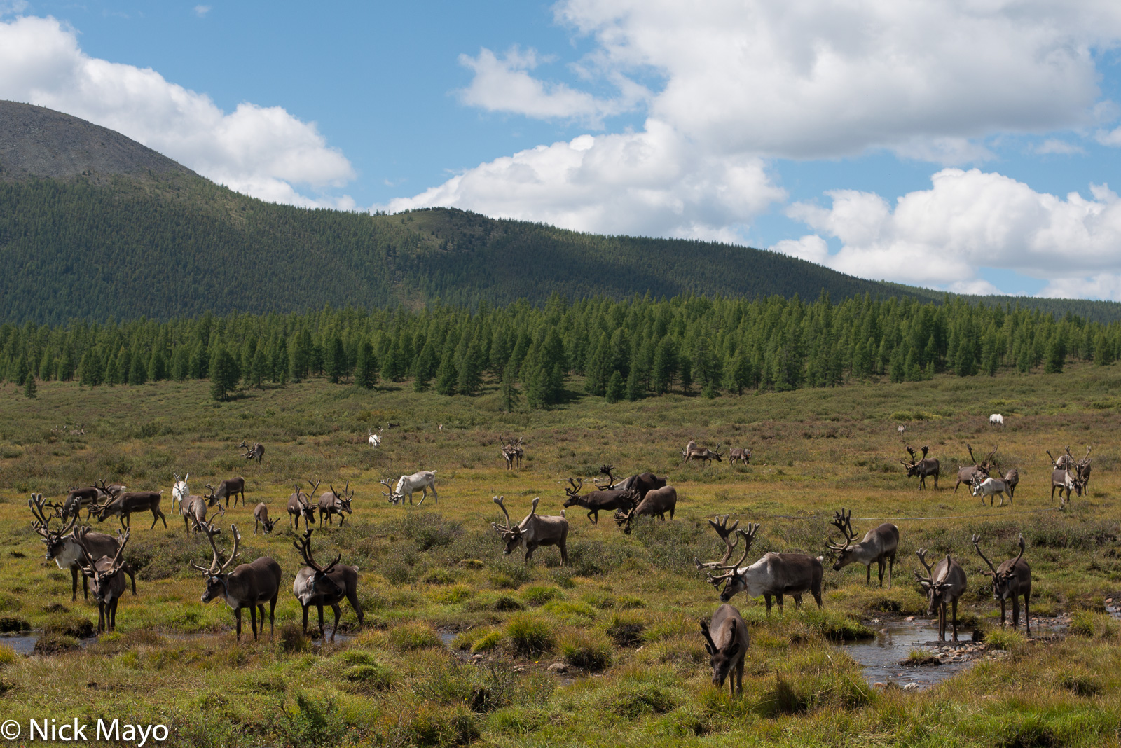 Reindeer grazing on the taiga in Tsagaannuur sum.