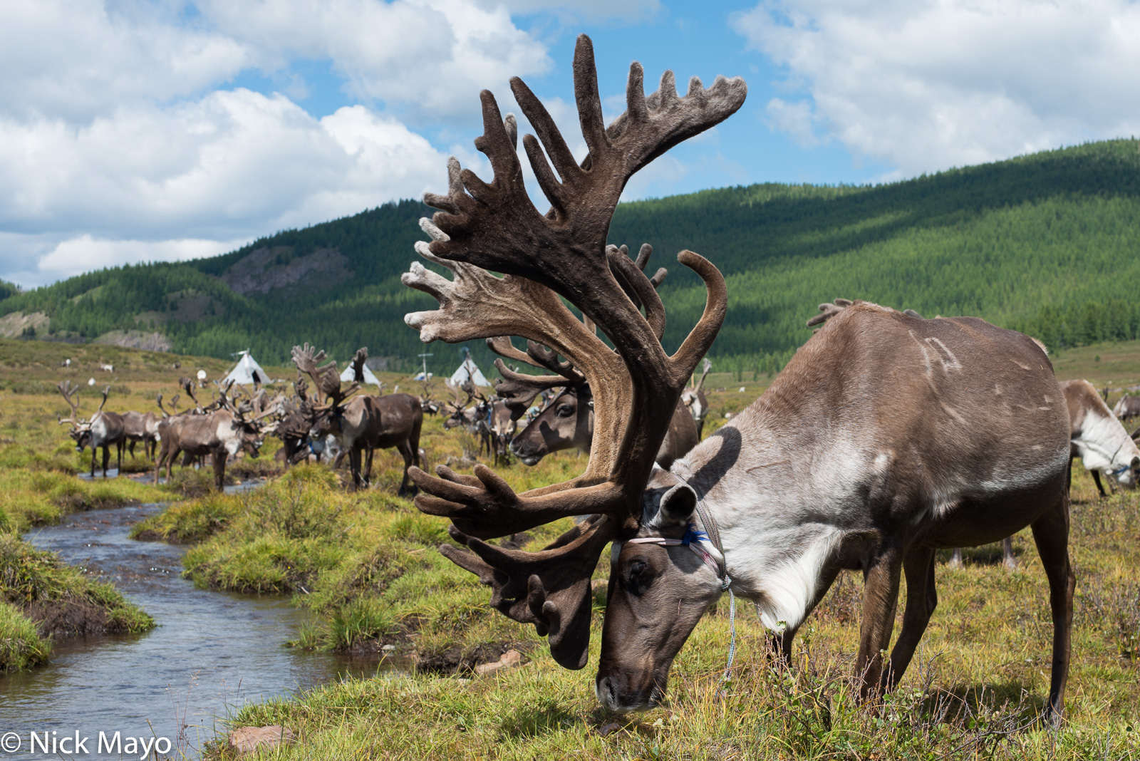 Khovsgol, Mongolia, Reindeer, photo