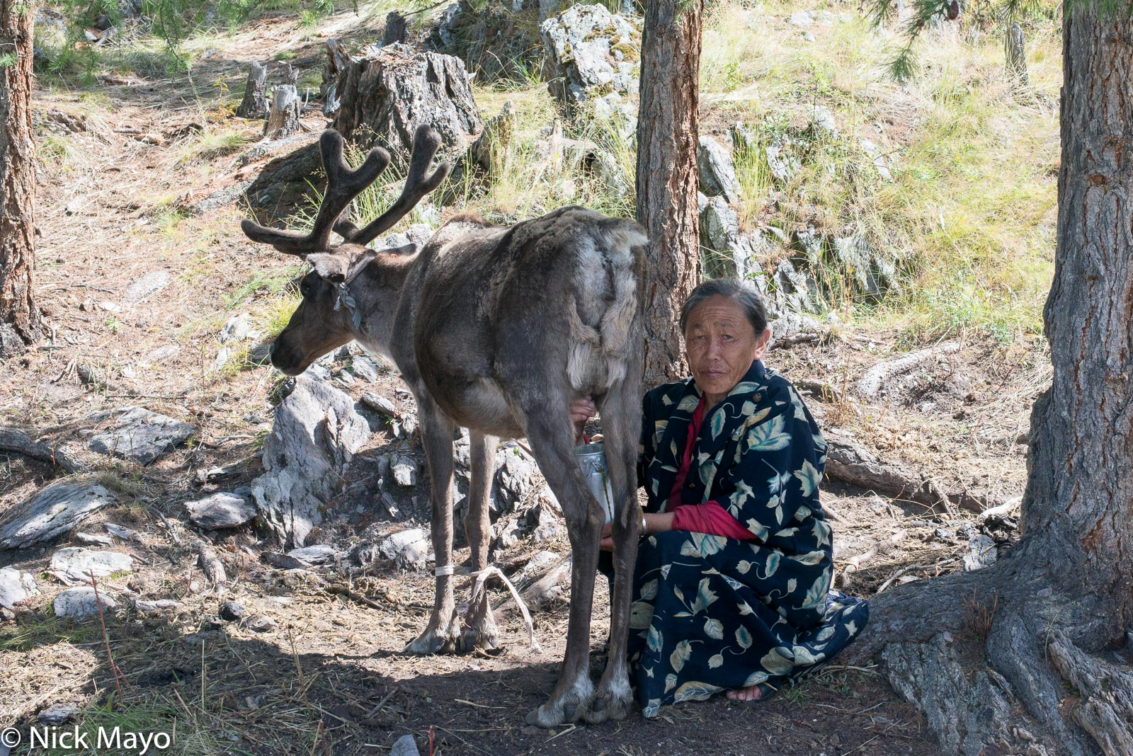 A Dukha woman milking a reindeer at her taiga camp in Tsagaannuur sum.