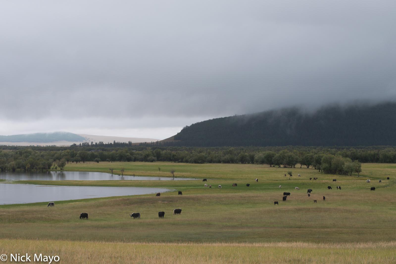 Cattle, Khovsgol, Mongolia, photo