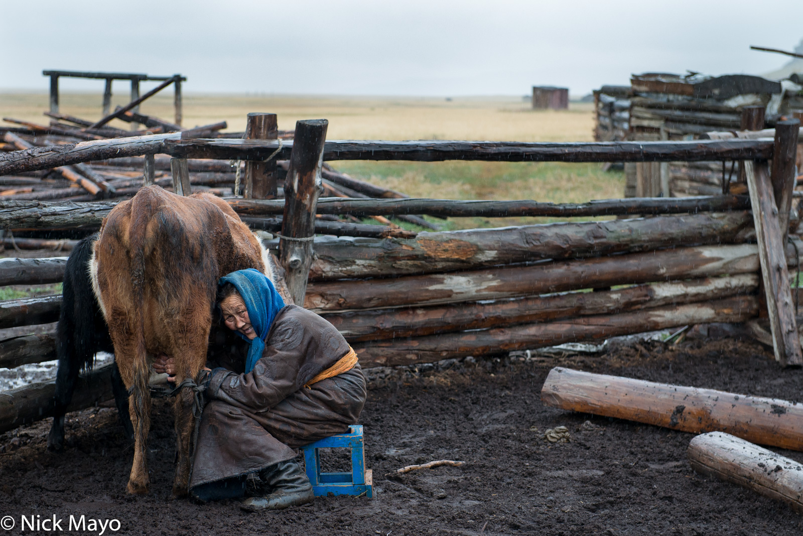 Cow, Darkhad, Khovsgol, Milking, Mongolia, photo