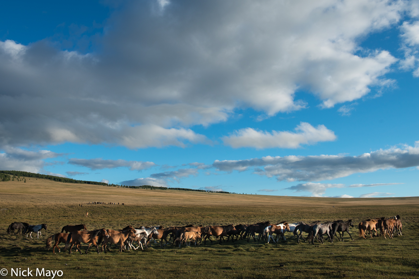 A horse herd galloping on the Alag-Erdene steppe.