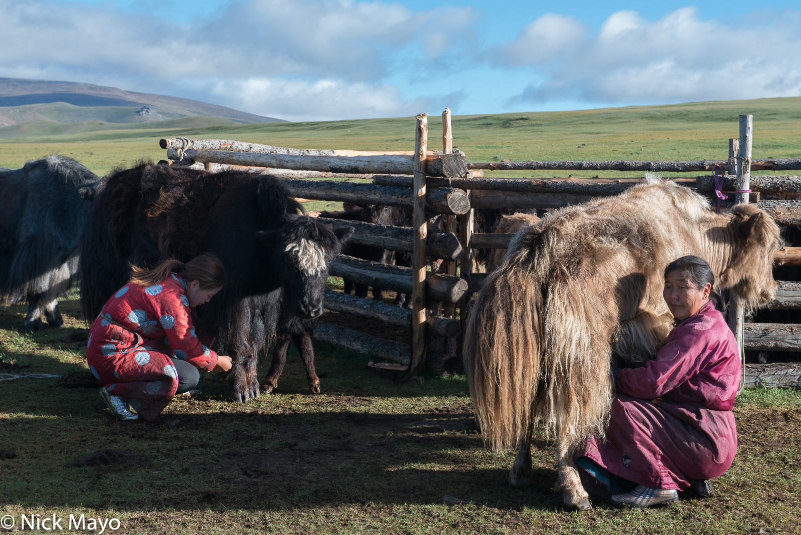 Darkhad, Khovsgol, Milking, Mongolia, Yak, photo