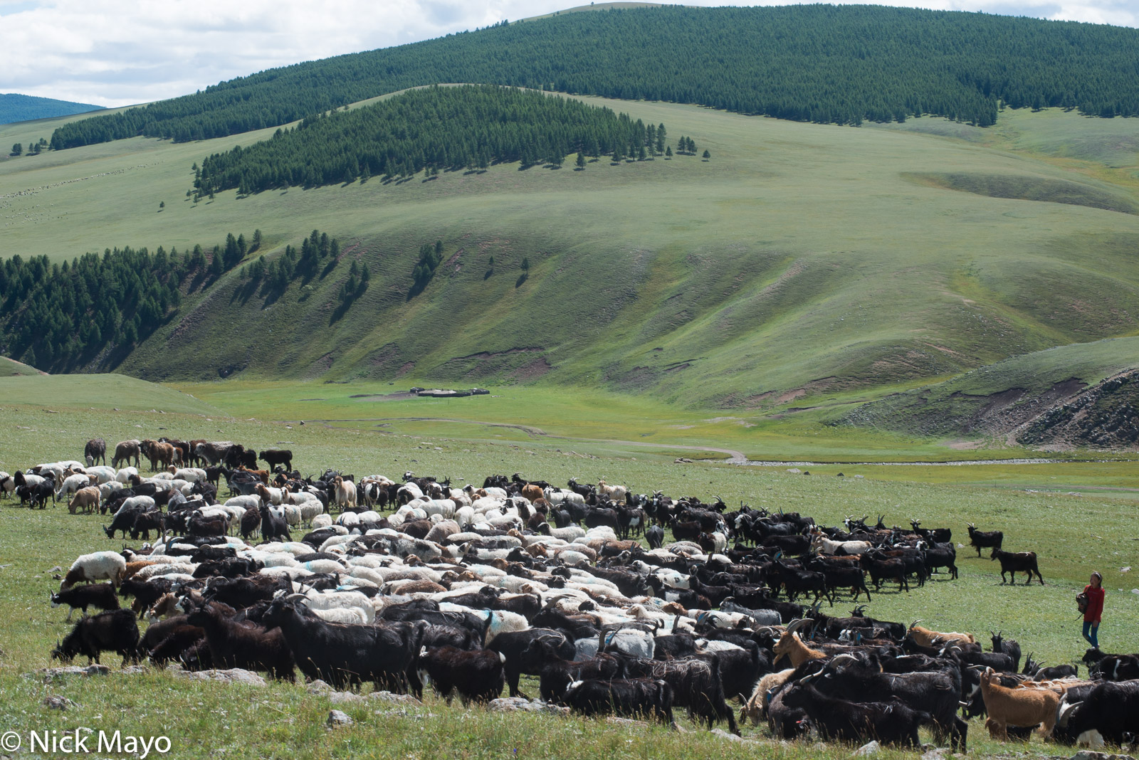 Darkhad, Goat, Herding, Khovsgol, Mongolia, Sheep, photo