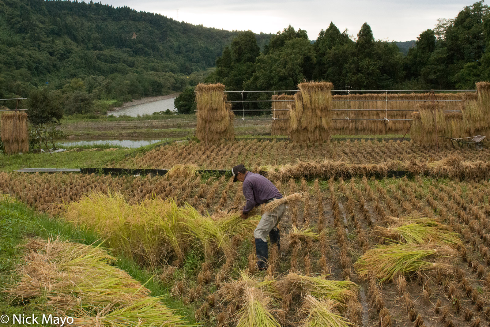 Chubu, Cutting, Drying Rack, Japan, Paddy, photo