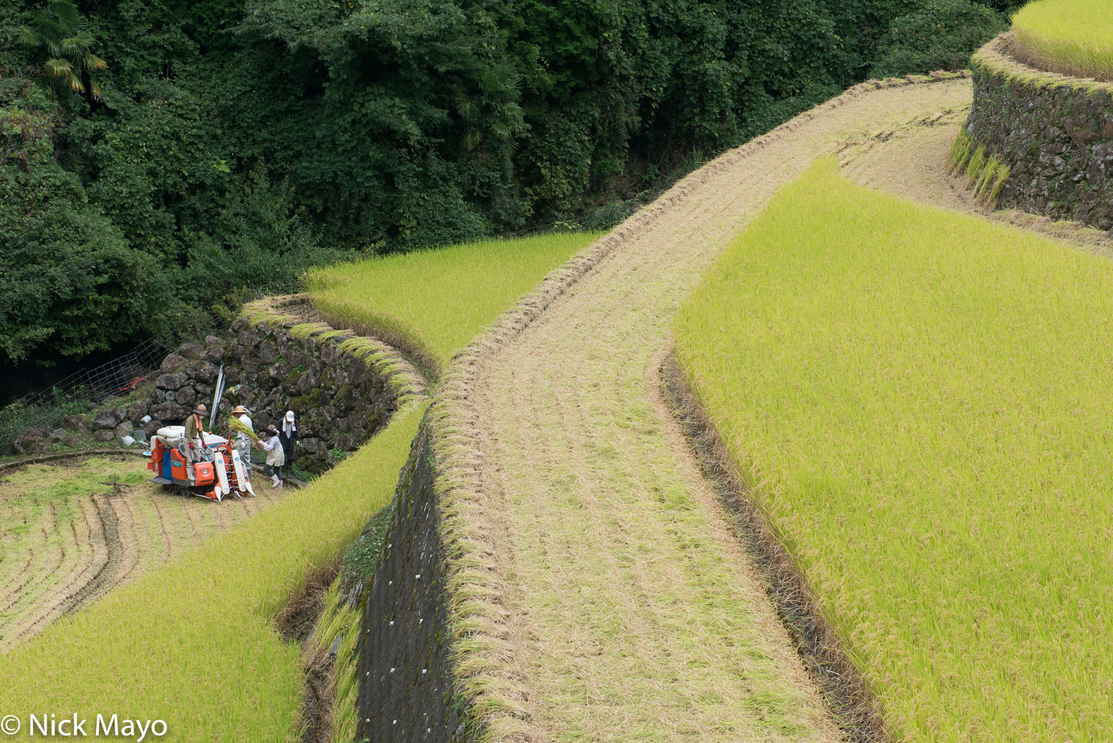 Farmers harvesting paddy rice at Warabino.