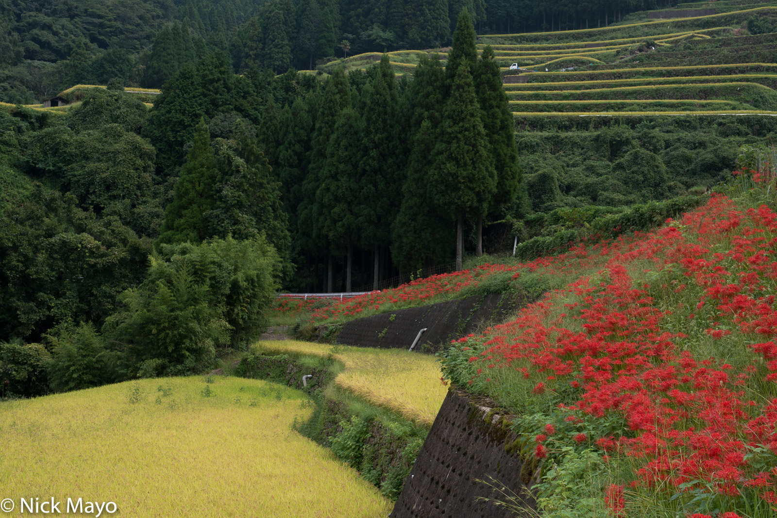 Contrasting vivid colours around the paddy rice fields at Warabino.