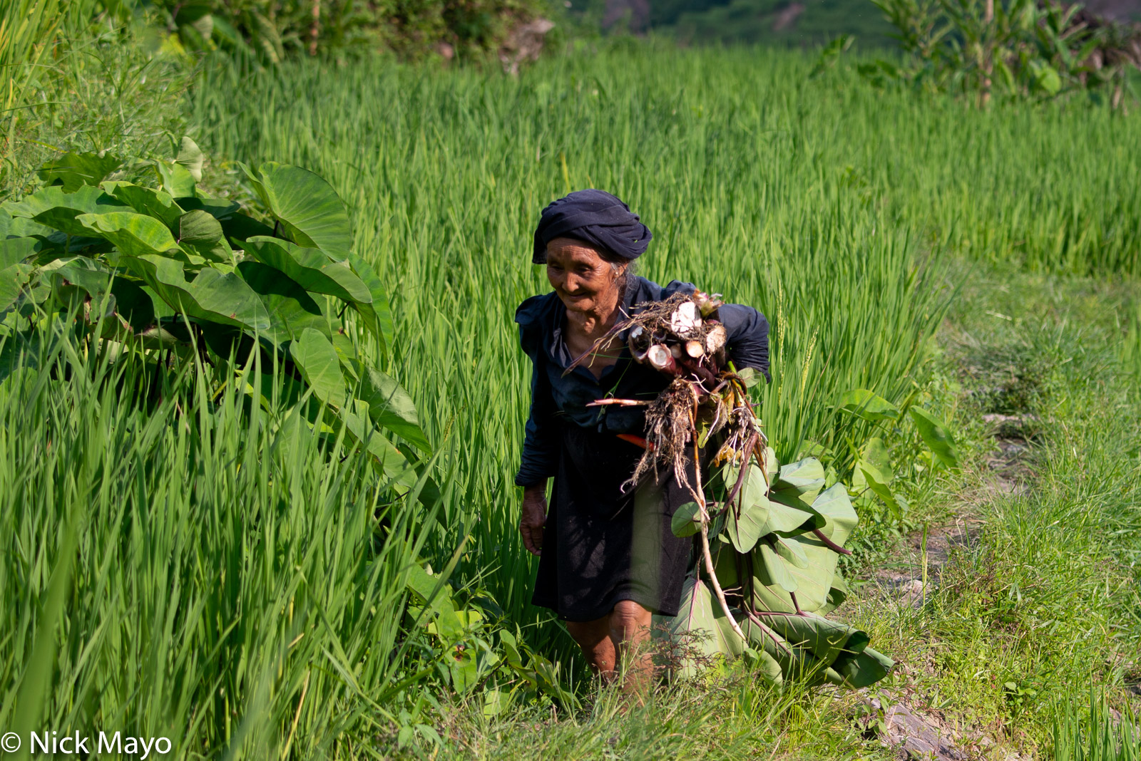 An older La Chi woman from Ban Phung returning home through the paddy rice fields with her just harvested root vegetable.