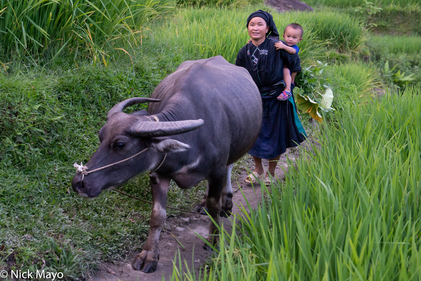 Ha Giang, La Chi, Vietnam, Water Buffalo, photo