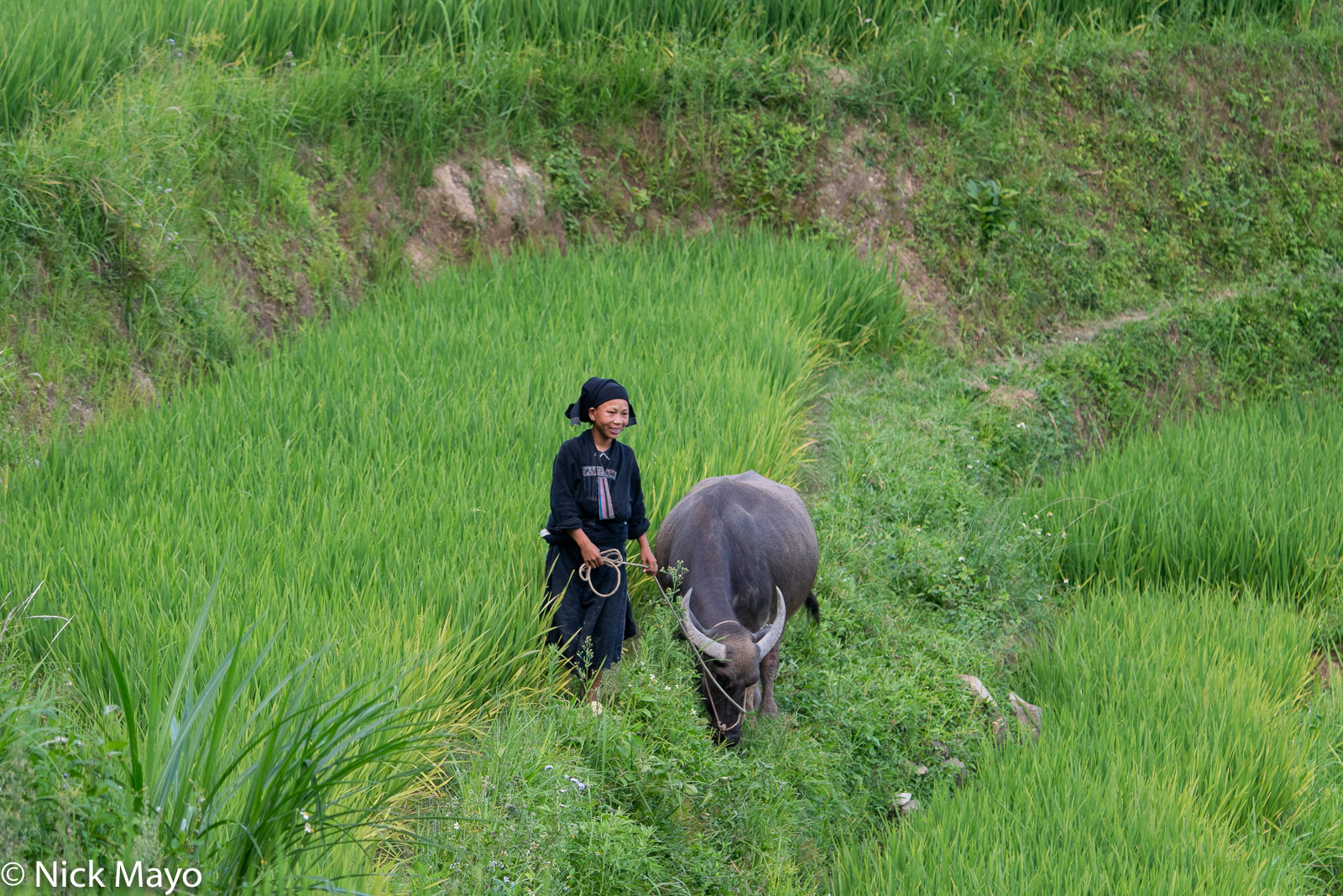 A La Chi woman from Ban Phung with her water buffalo.