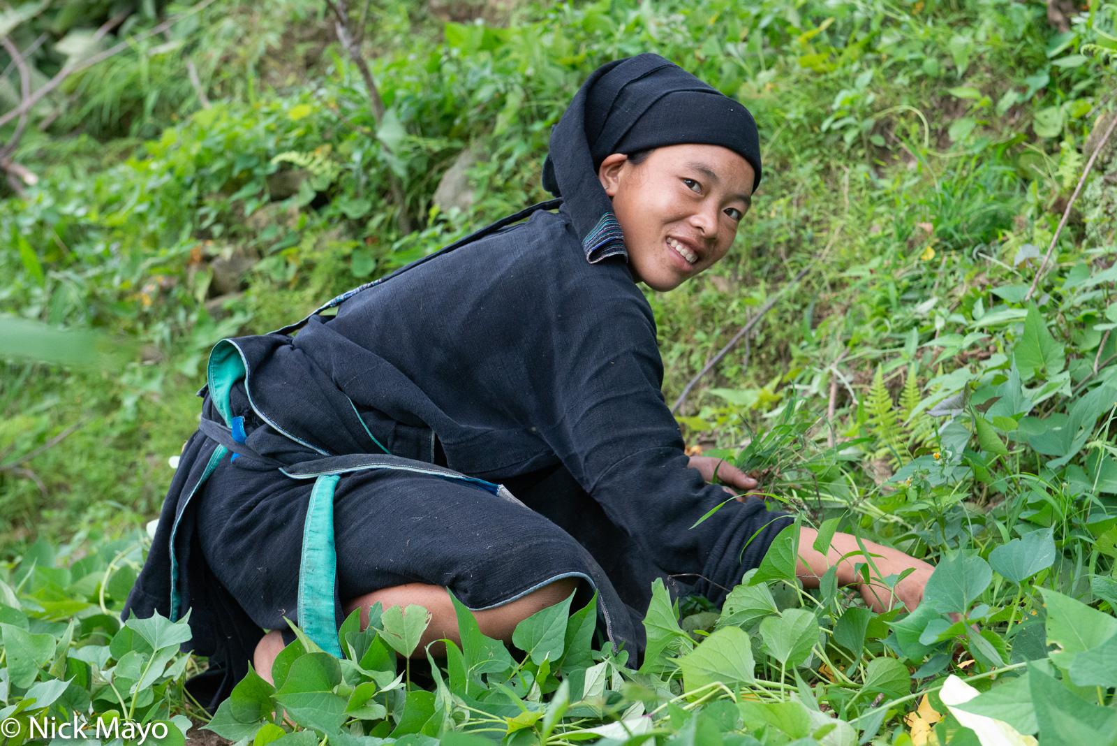 A La Chi girl at Ban Phung picking greens.