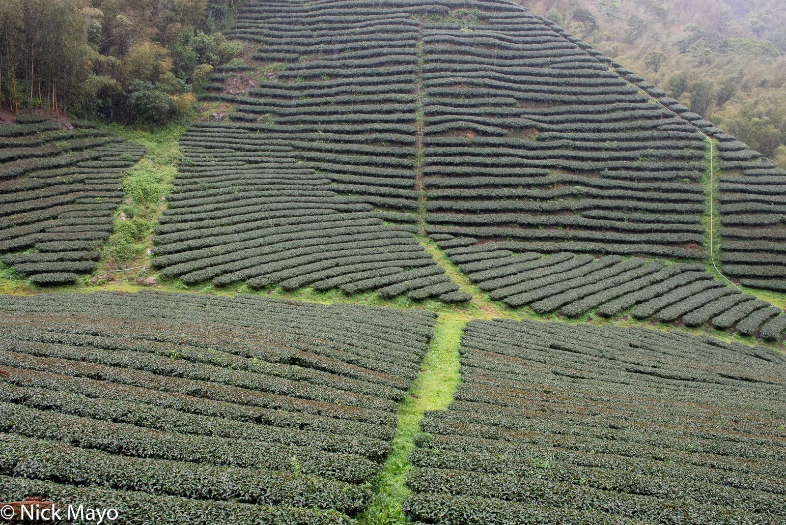Central Mountains, Taiwan, Tea Field, photo