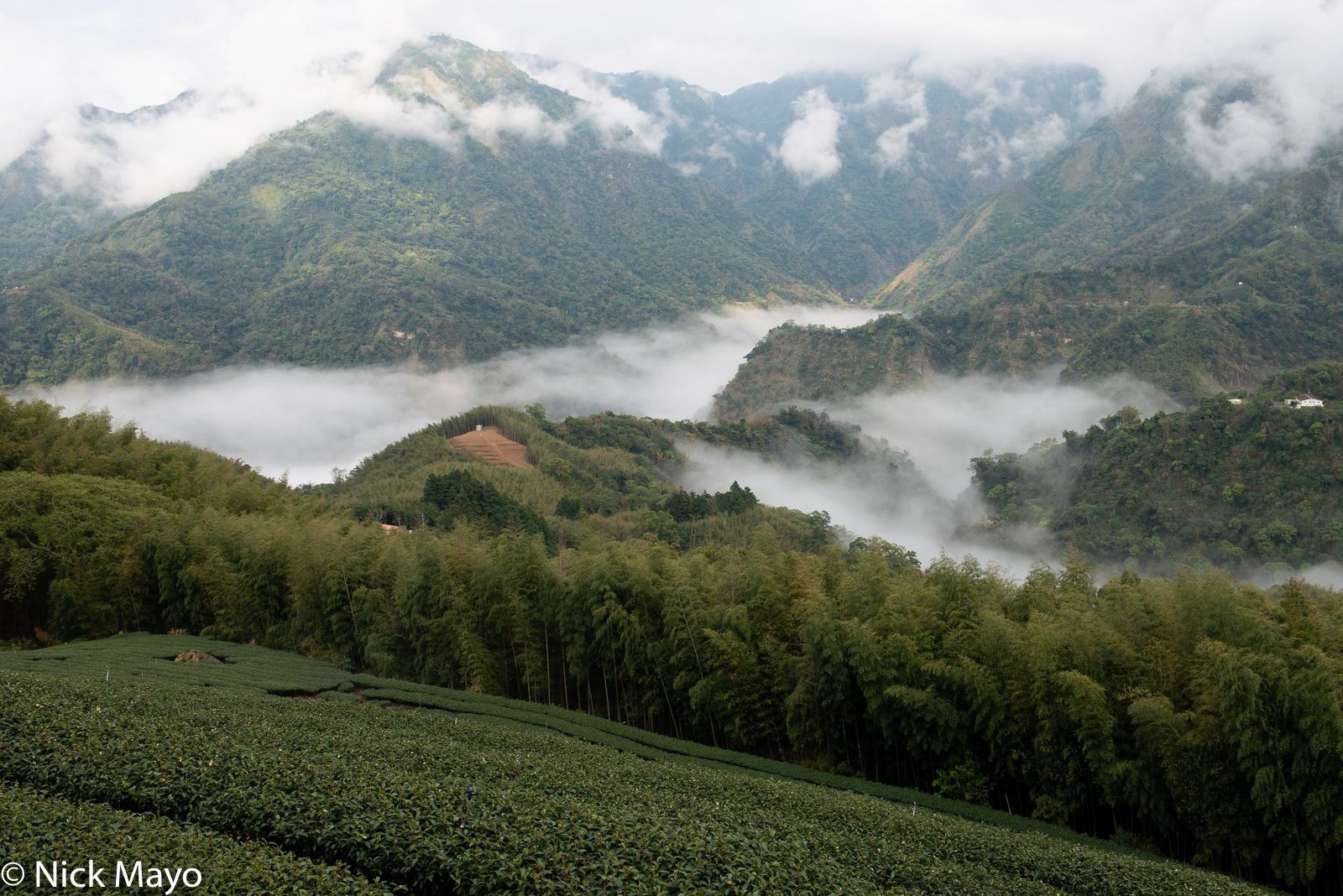 A tea field and bamboo above cloud filled valleys at Pan Zai Tian in Yunlin County.