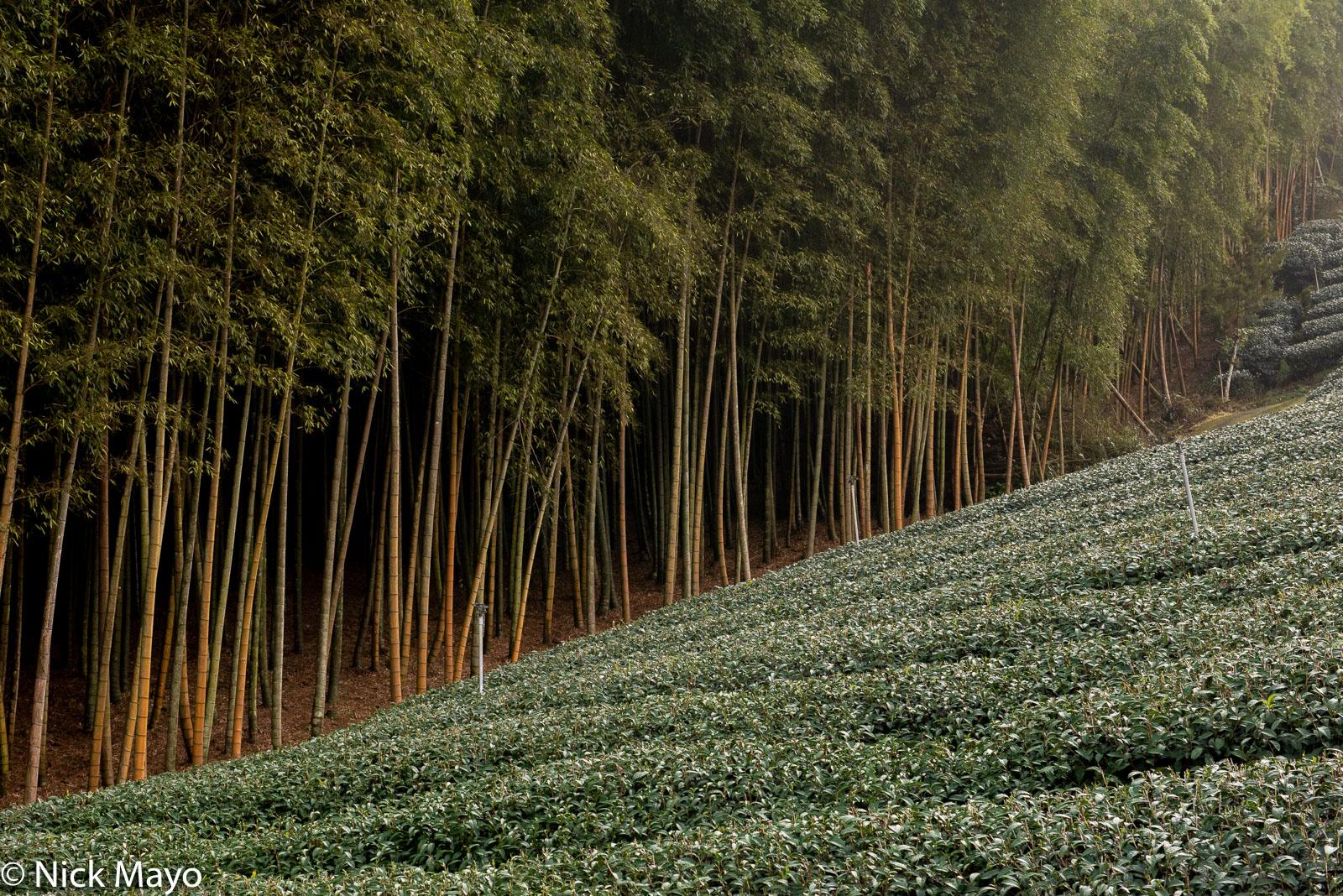 A tea field and bamboo at Pan Zai Tian in Yunlin County.