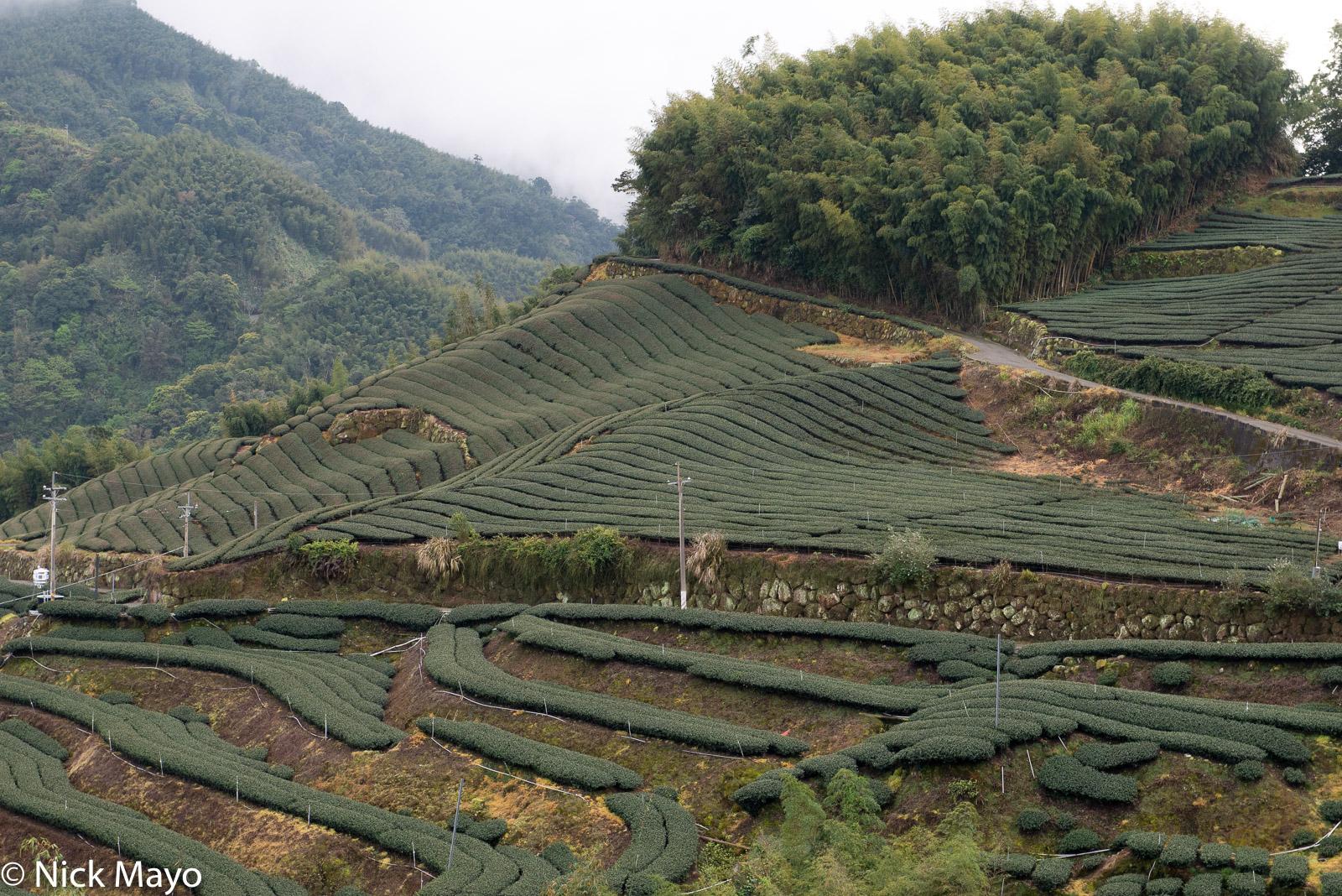 Tea fields below a bamboo copse at Pan Zai Tian in Yunlin County.