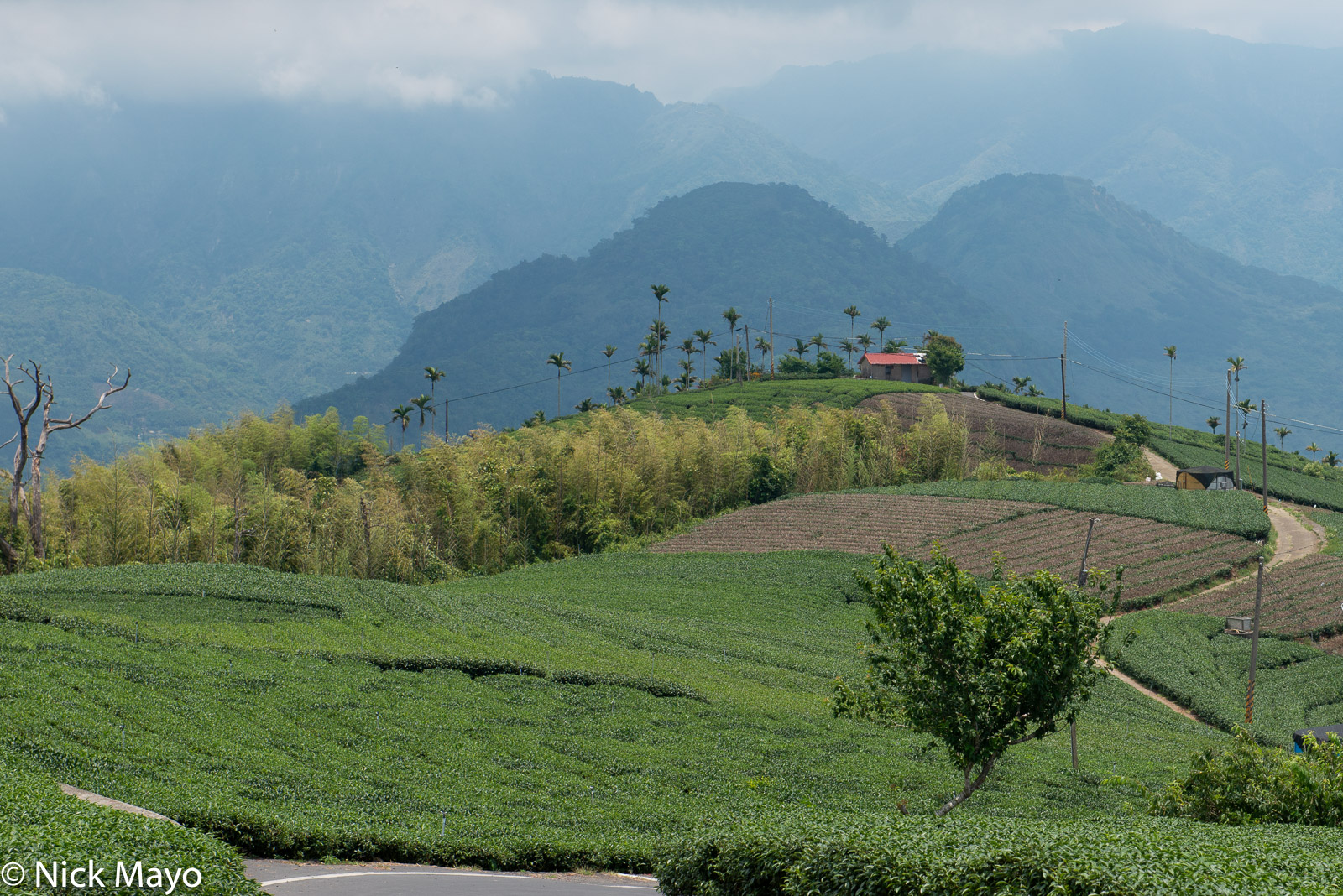 A bamboo grove between tea fields at the Bihushan tea plantation in Chiayi County.