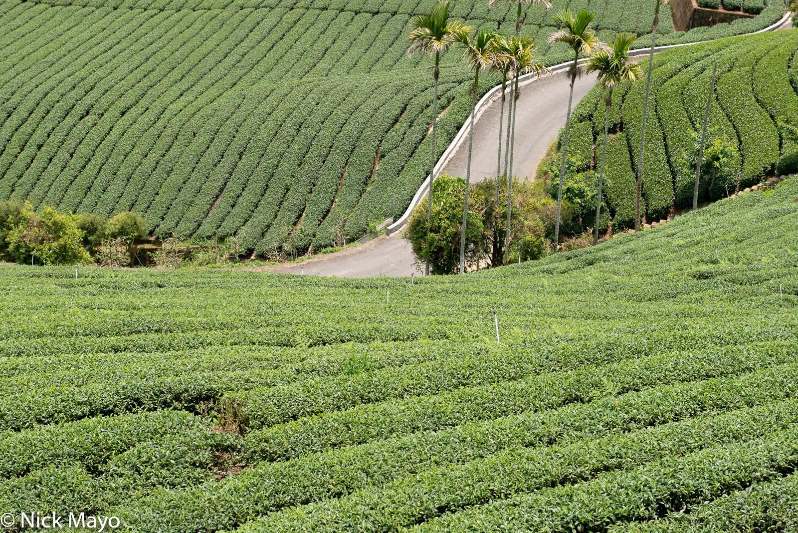 Tea fields at Bihushan in Chiayi County.