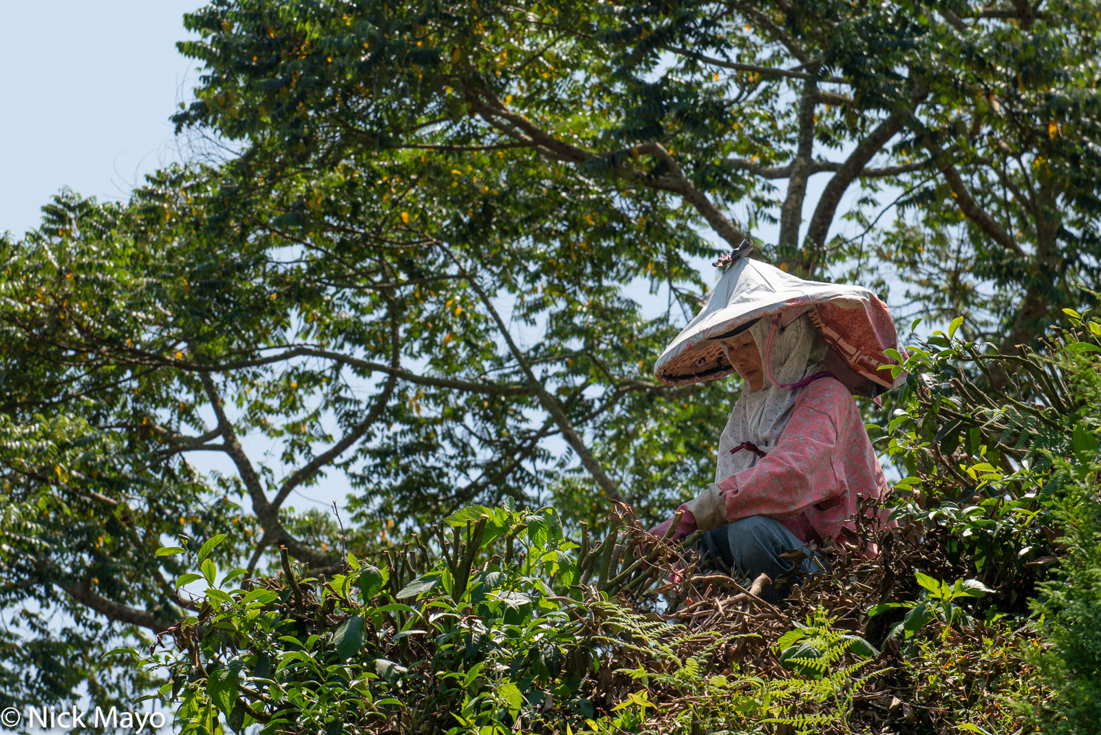 A farmer cutting back old bushes at a Ruili tea plantation.