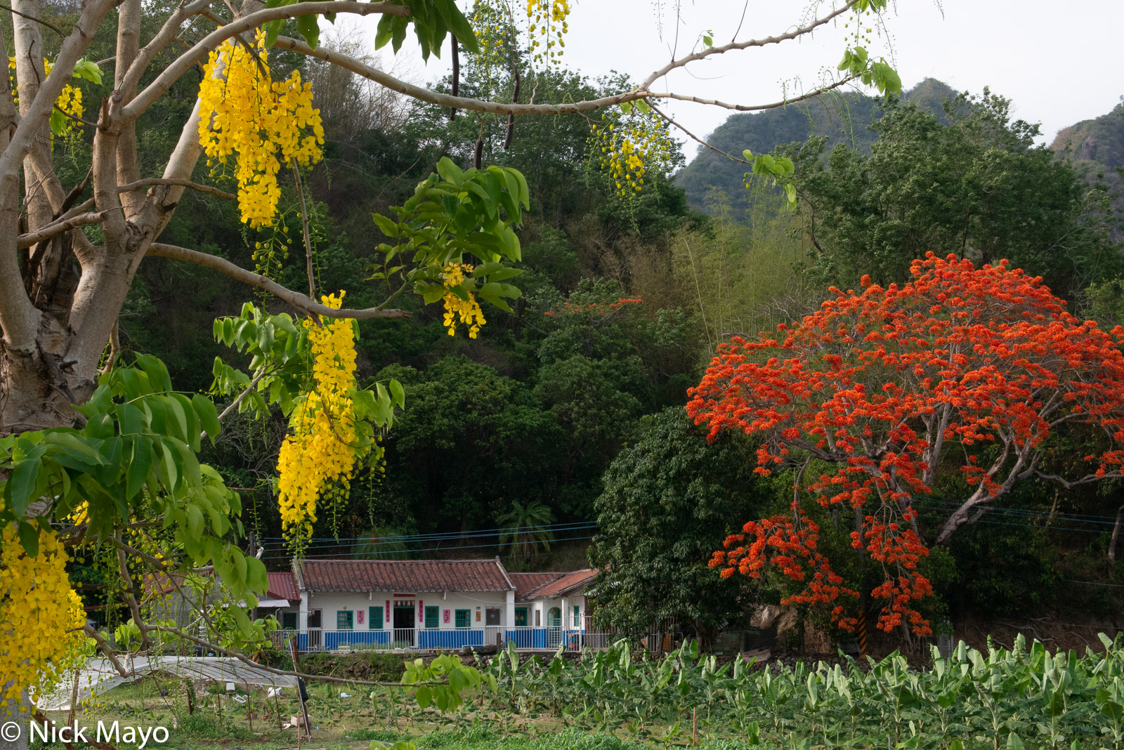 Flowering royal poinciana and Indian laburnum trees around a farmhouse in Meinong district.