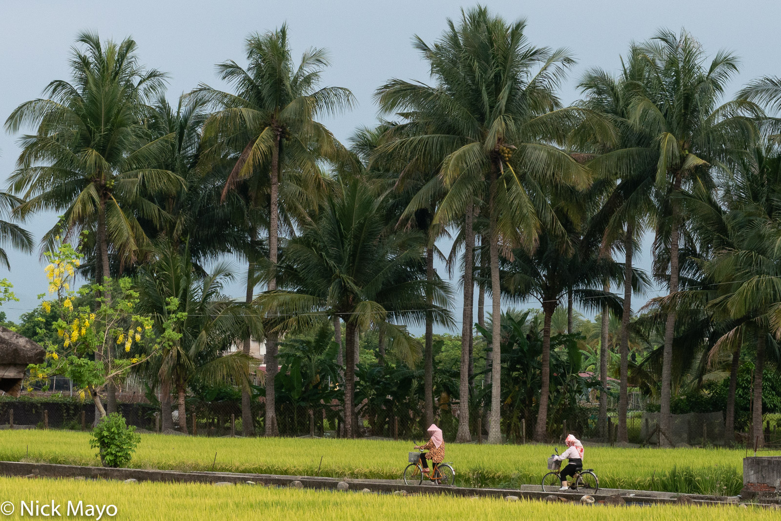 Two farmers bicycling home past coconut palms and paddy rice after a day working in the fields near Meinong.