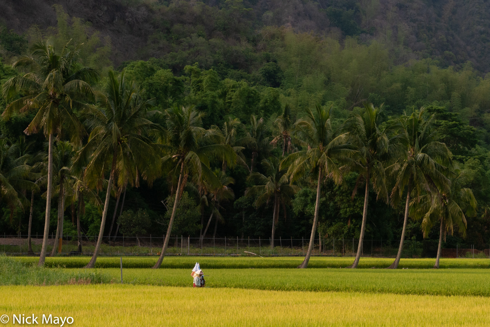 A farmer walking home through coconut palms and paddy rice after a day working in the fields near Meinong.