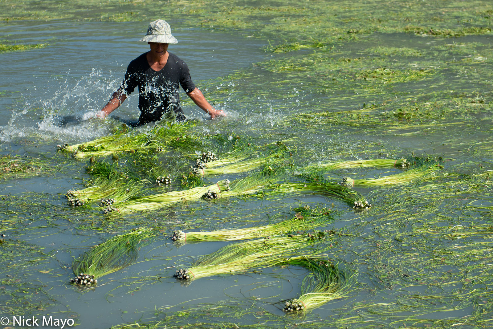 A worker with water lily stems harvested from a pond in Meinong district.