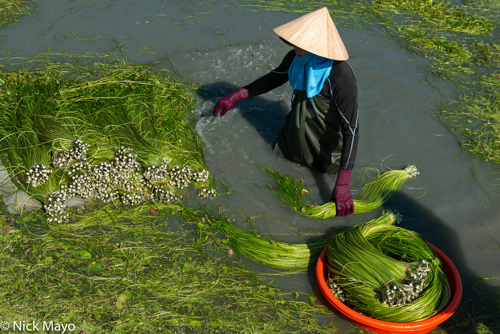 Water lily stems being washed and prepared for market in a pond in Meinong district.