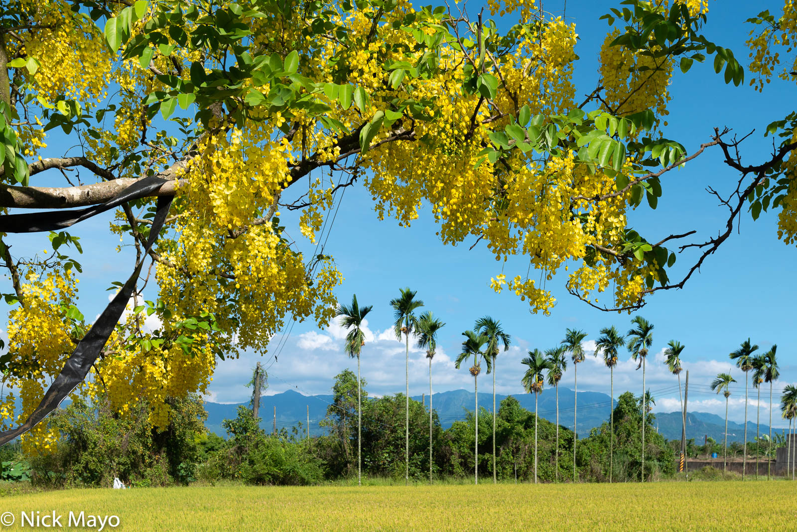 A blooming Indian laburnum tree framing coconut palms at Shanzihjiao in Tainan County.