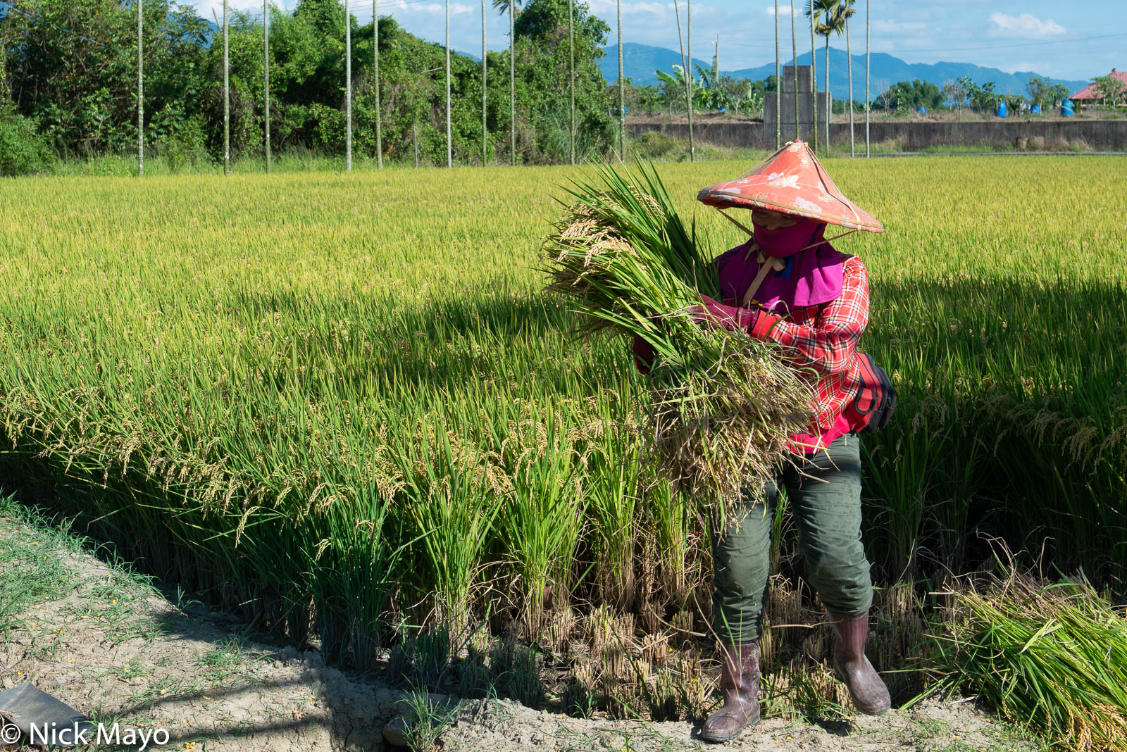 A Shanzihjiao farmer hand harvesting the corner of a paddy rice field where the harvester cannot reach.