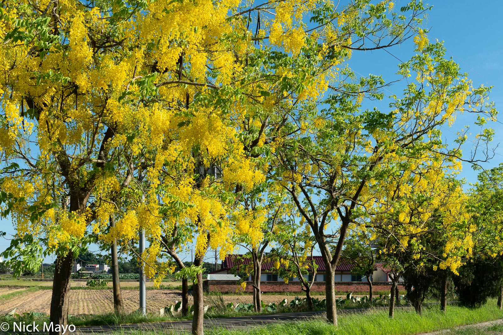 Blooming Indian laburnum trees at Shanzihjiao in Tainan County.