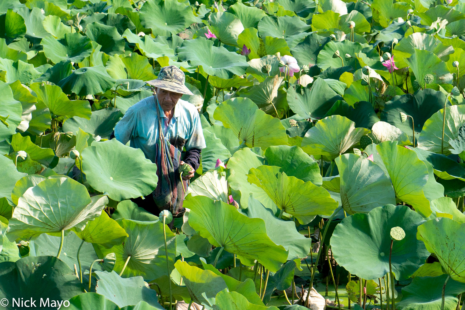 A farmer harvesting lotus pods at Shanzihjiao in Tainan County.