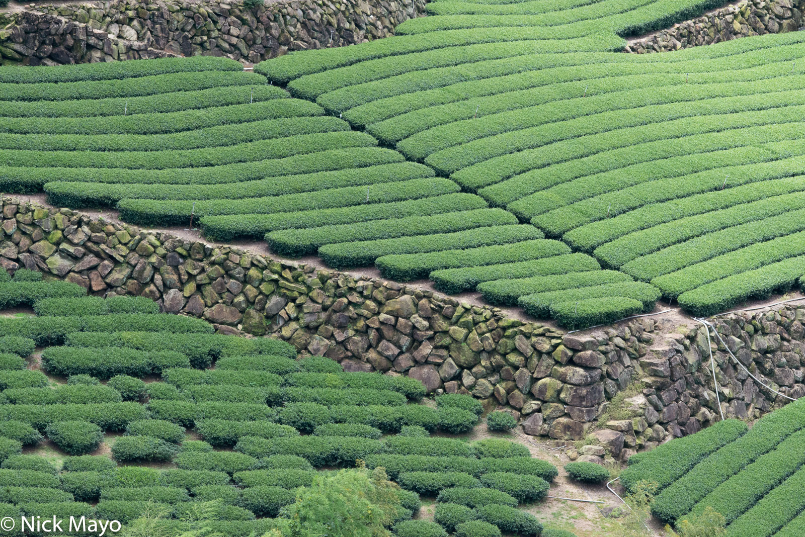 A tea field laid out on beautifully constructed stone terraces at Xiding in Chaiyi County.