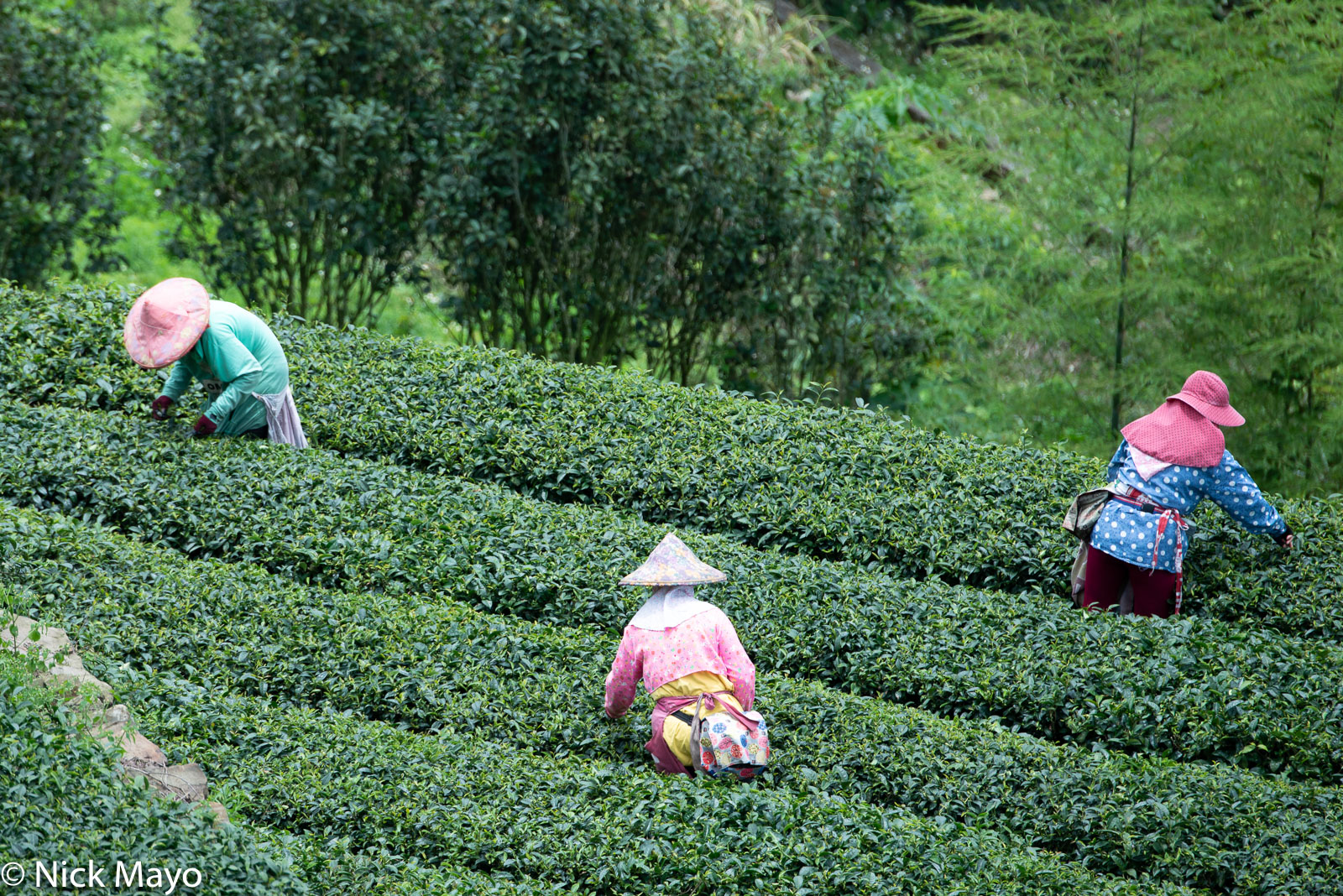 Three pickers harvesting a tea field at Xiding in Chaiyi County.