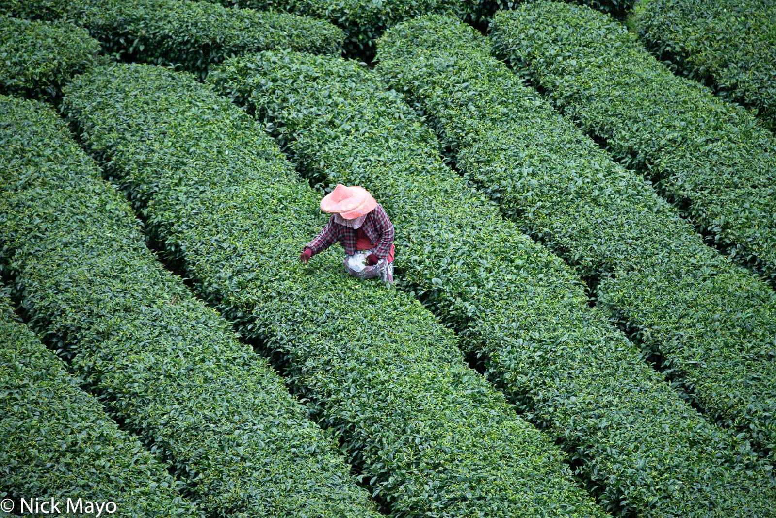 A tea picker harvesting in a tea field at Xiding in Chaiyi County.