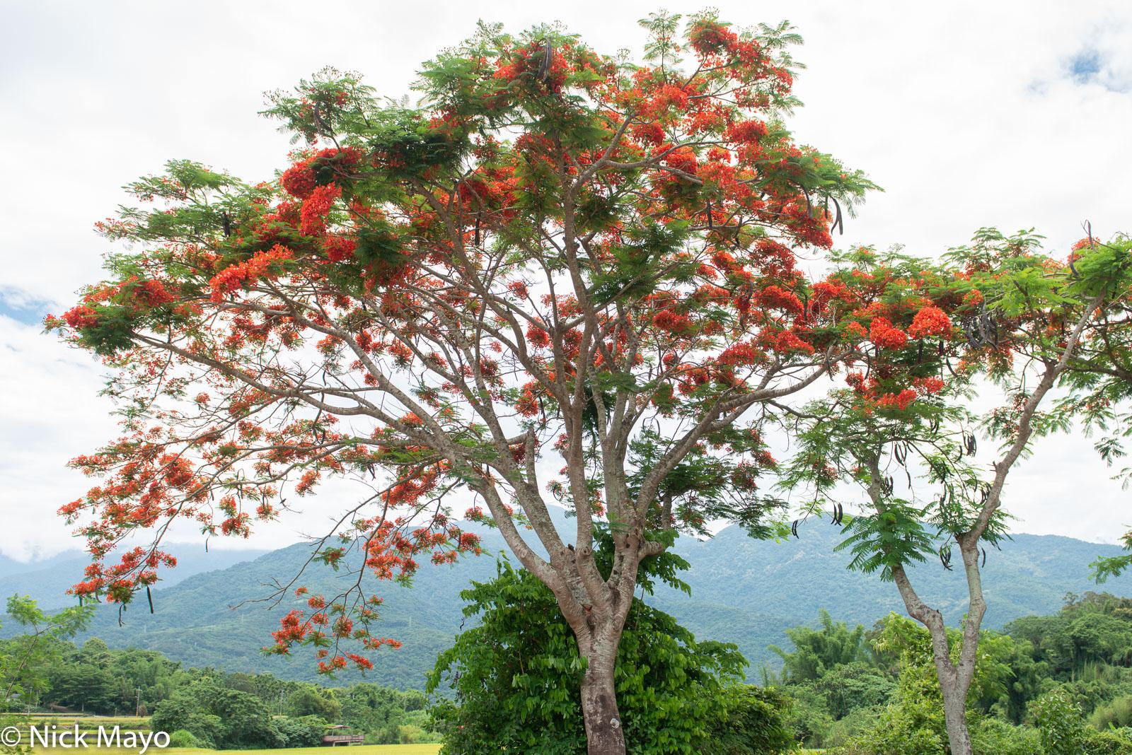A royal poinciana in bloom near Fuli.