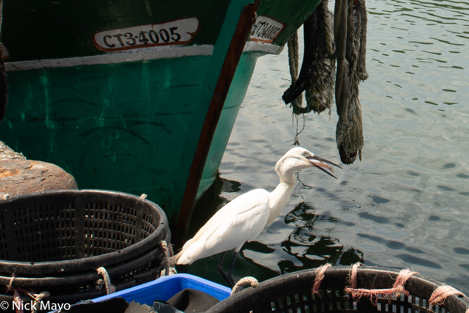 An egret swallowing a stolen fish at Nanfangao port in Suao.