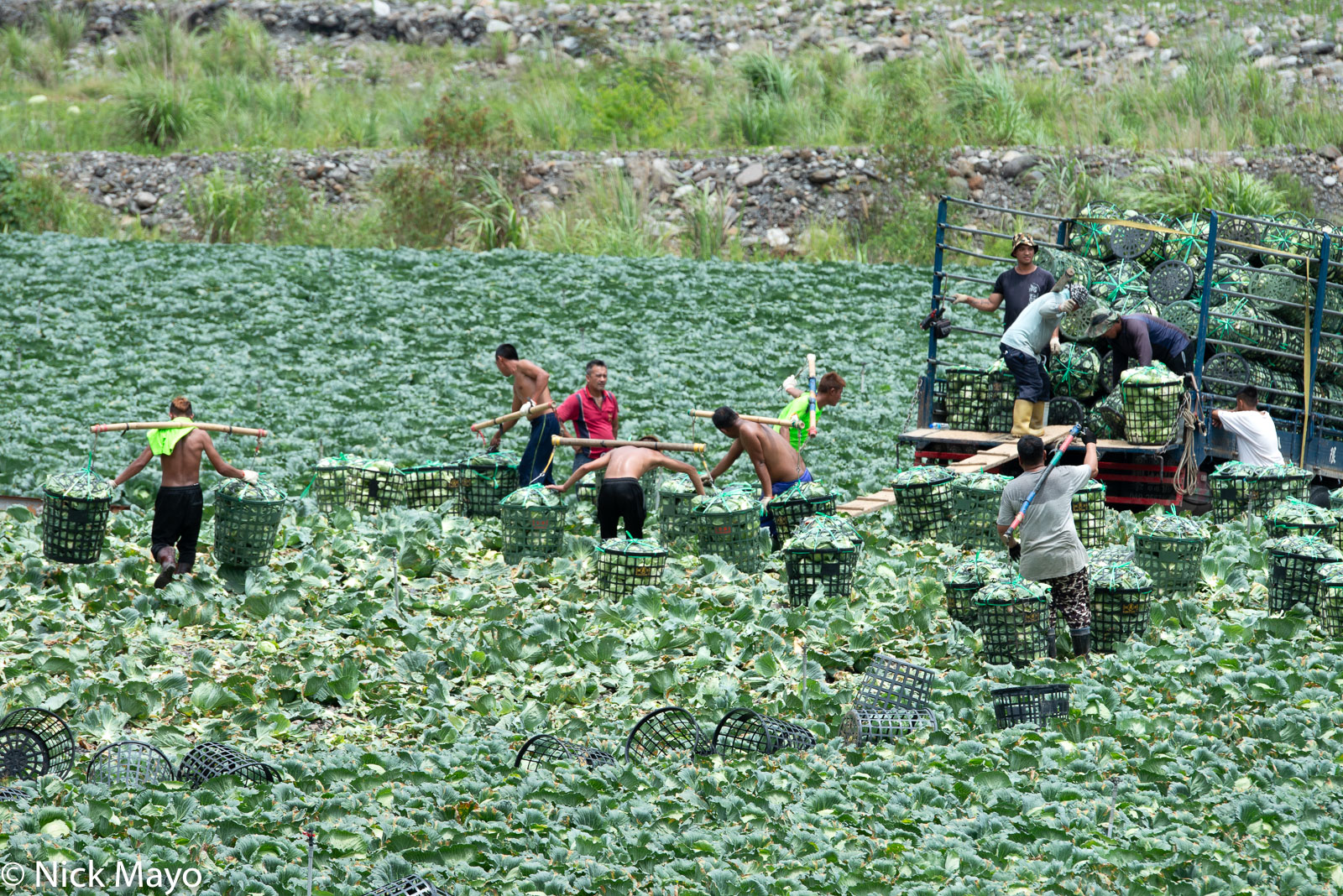 Bunun workers loading cabbages onto a truck near Nan Shan in the Lanyang valley.