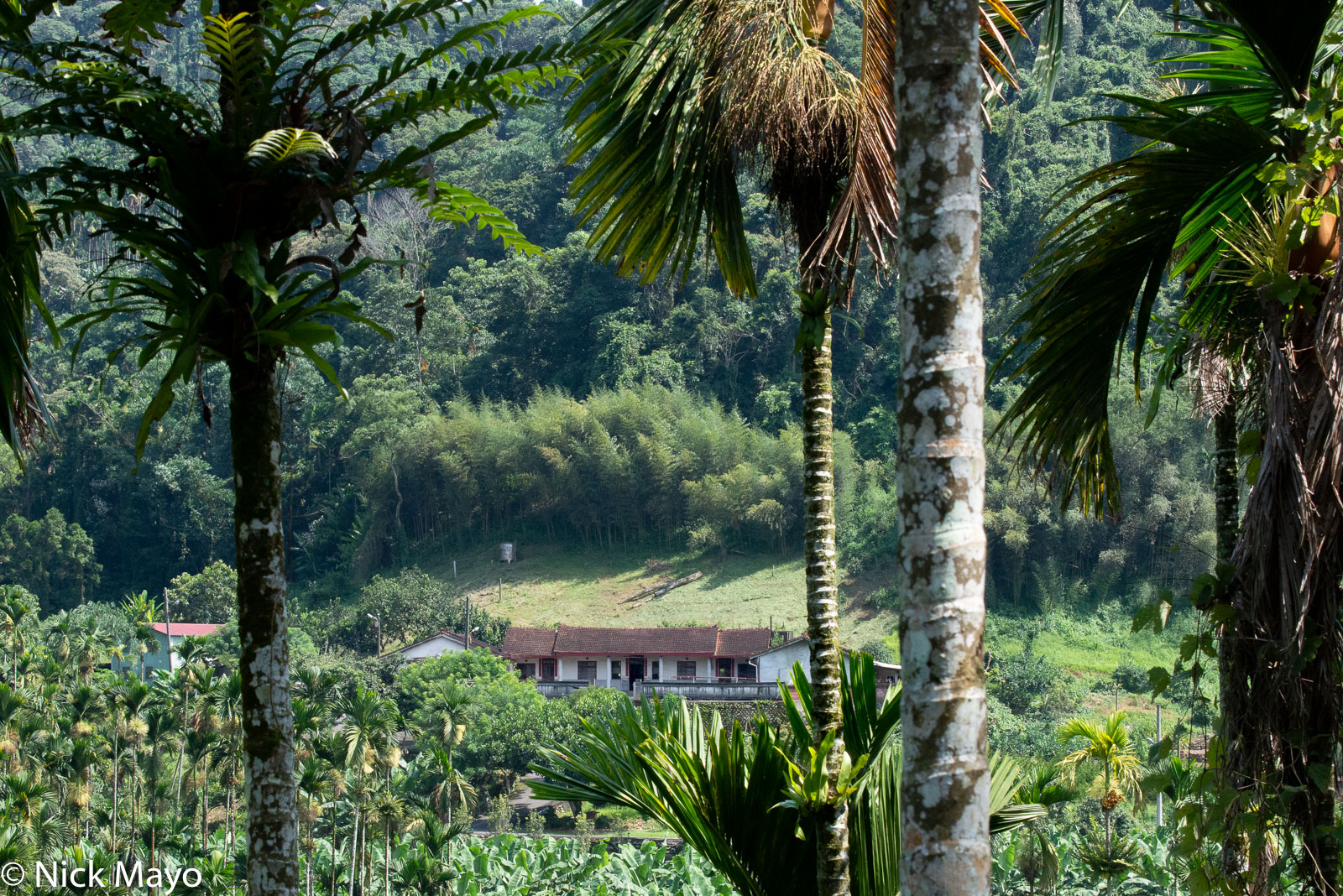 A traditional farmhouse seen behind betel trees at Lugu in Nantou County.