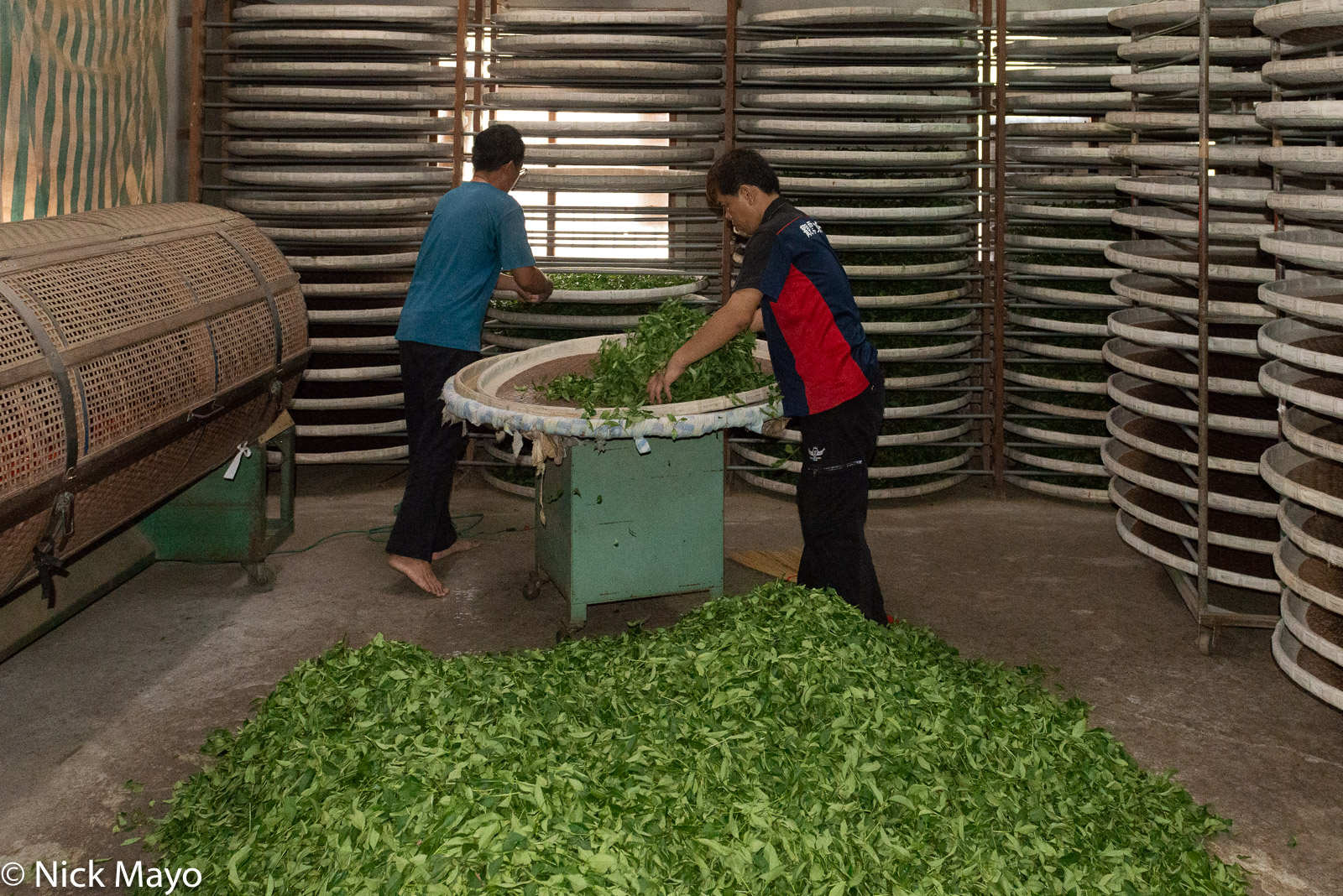 Freshly picked tea leaves being placed on trays in a drying shed in the Nantou County village of Yenshan.