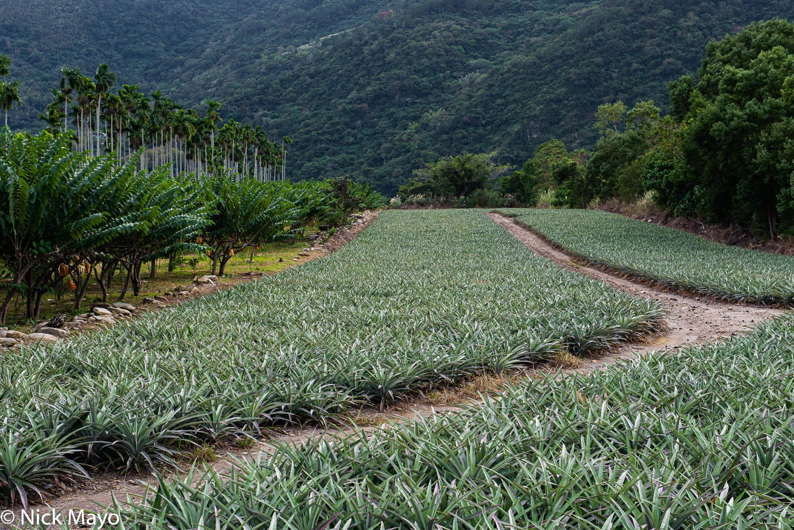 A pineapple plantation fringed by fruit and betel trees at Yanping in Taitung County.
