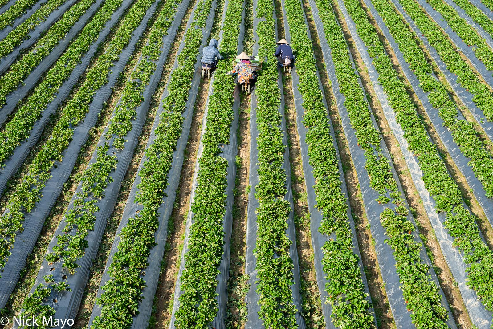 Three strawberry pickers at work in a field in Tahu in Miaoli County.