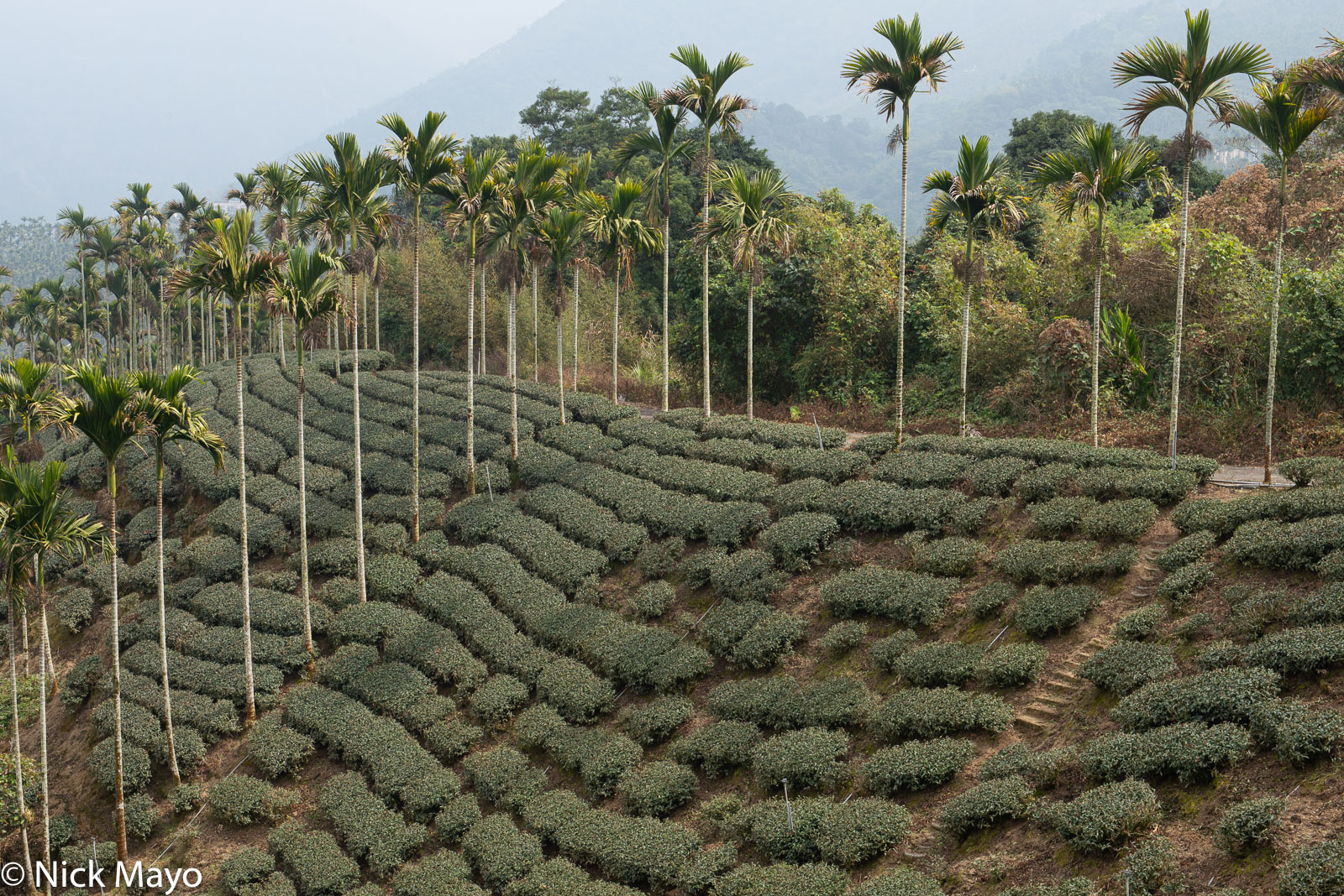 A tea field and betel trees at Liyuanliao in Chiayi County.
