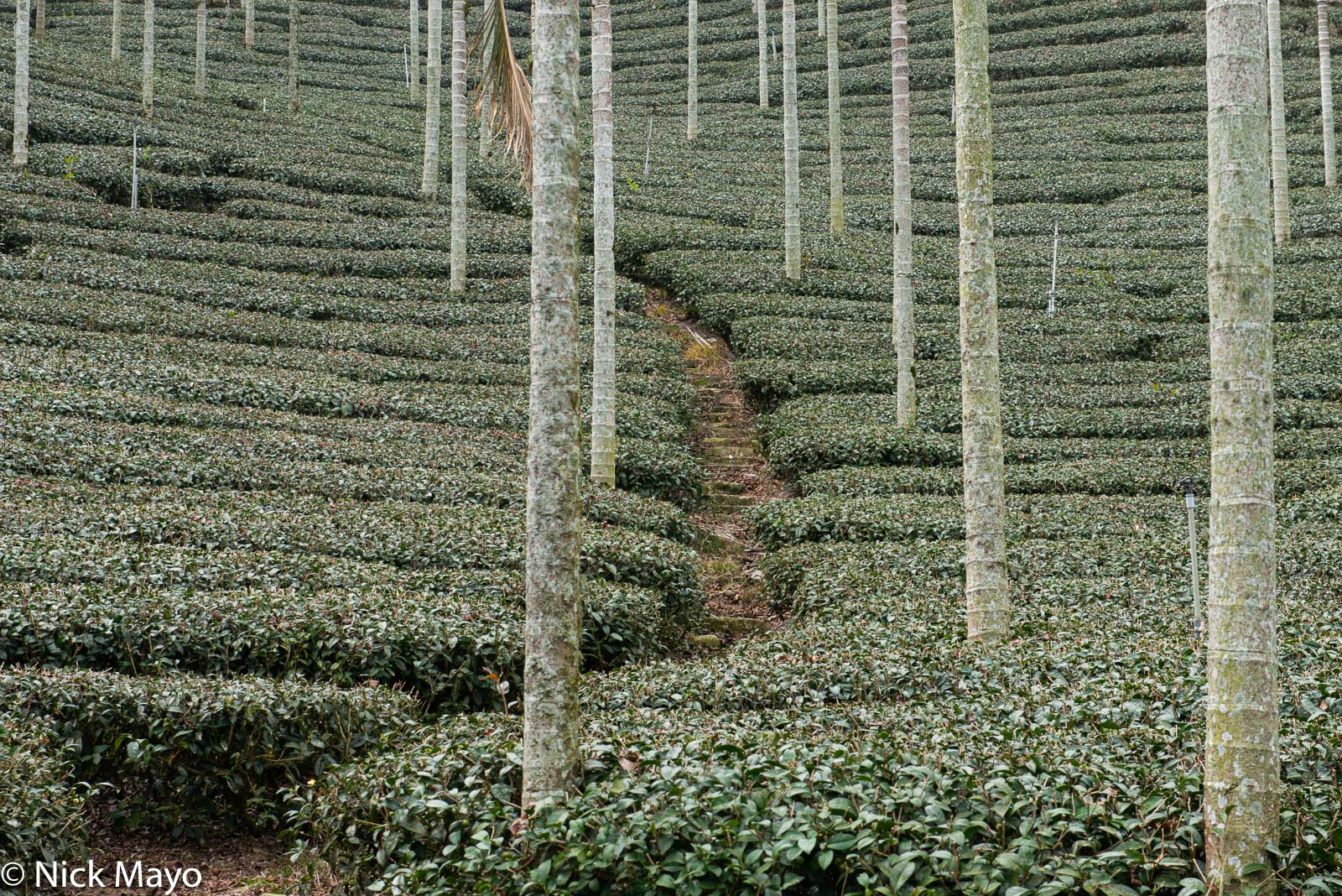A path through a field of tea and betel trees at Liyuanliao in Chiayi County.