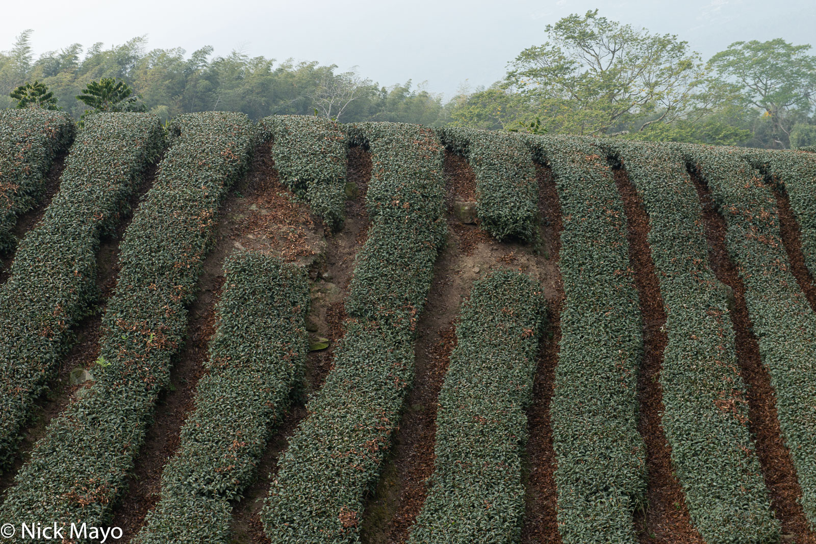 A recently harvested tea field at Jiaoliping in Chiayi County.