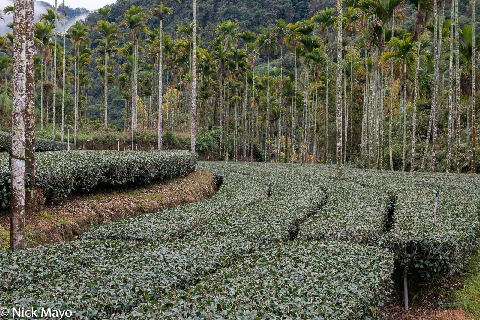 A tea field and betel trees at Zhukeng in Chiayi County.